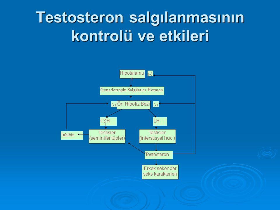 Testosteron salgılanmasının kontrolü ve etkileri