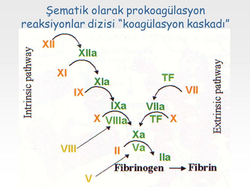 Şematik olarak prokoagülasyon reaksiyonlar dizisi koagülasyon kaskadı