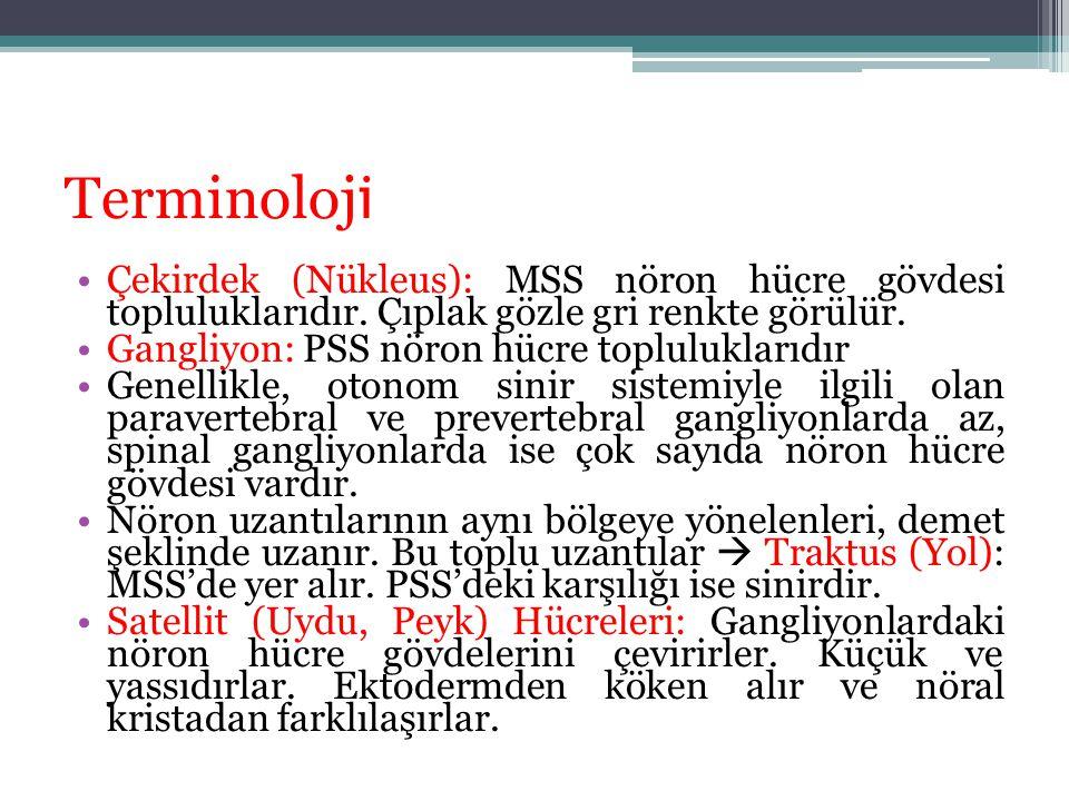 Terminoloji Çekirdek (Nükleus): MSS nöron hücre gövdesi topluluklarıdır. Çıplak gözle gri renkte görülür.