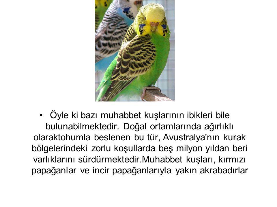 Öyle ki bazı muhabbet kuşlarının ibikleri bile bulunabilmektedir