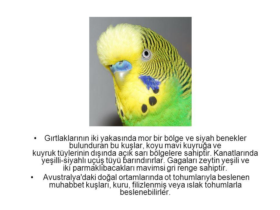 Gırtlaklarının iki yakasında mor bir bölge ve siyah benekler bulunduran bu kuşlar, koyu mavi kuyruğa ve kuyruk tüylerinin dışında açık sarı bölgelere sahiptir. Kanatlarında yeşilli-siyahlı uçuş tüyü barındırırlar. Gagaları zeytin yeşili ve iki parmaklıbacakları mavimsi gri renge sahiptir.