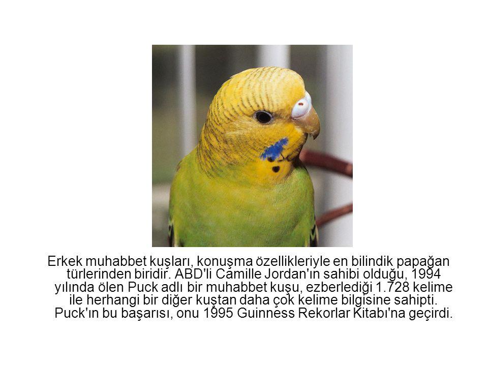 Erkek muhabbet kuşları, konuşma özellikleriyle en bilindik papağan türlerinden biridir. ABD li Camille Jordan ın sahibi olduğu, 1994 yılında ölen Puck adlı bir muhabbet kuşu, ezberlediği 1.728 kelime ile herhangi bir diğer kuştan daha çok kelime bilgisine sahipti.