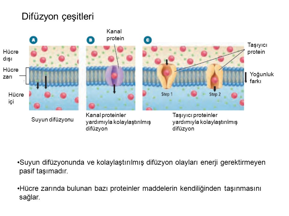 Difüzyon çeşitleri Kanal. protein. Taşıyıcı. protein. Hücre dışı. Hücre zarı. Yoğunluk farkı.