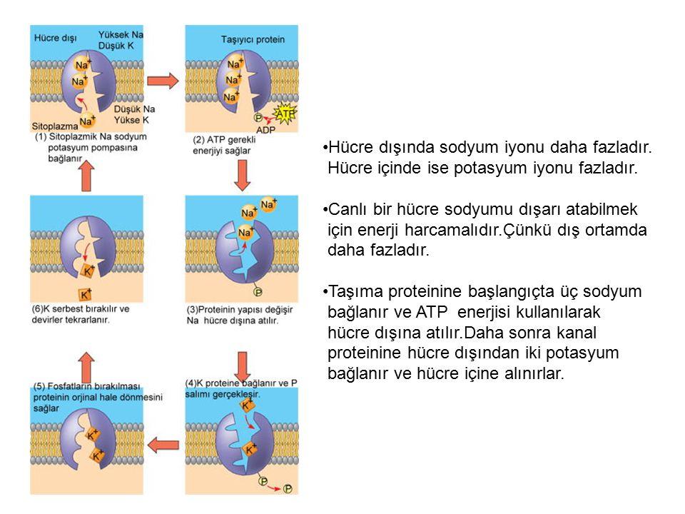 Hücre dışında sodyum iyonu daha fazladır.