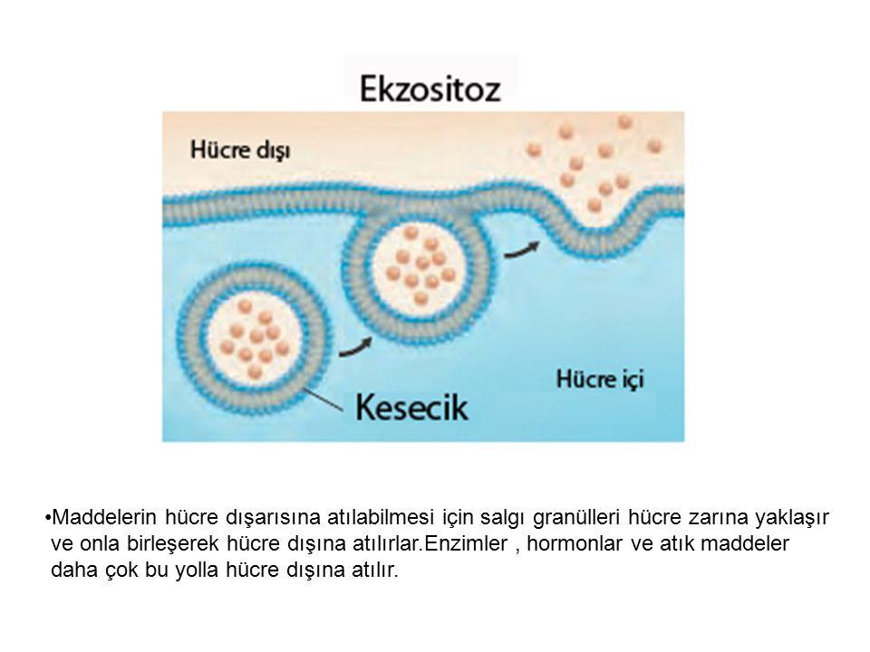 Maddelerin hücre dışarısına atılabilmesi için salgı granülleri hücre zarına yaklaşır
