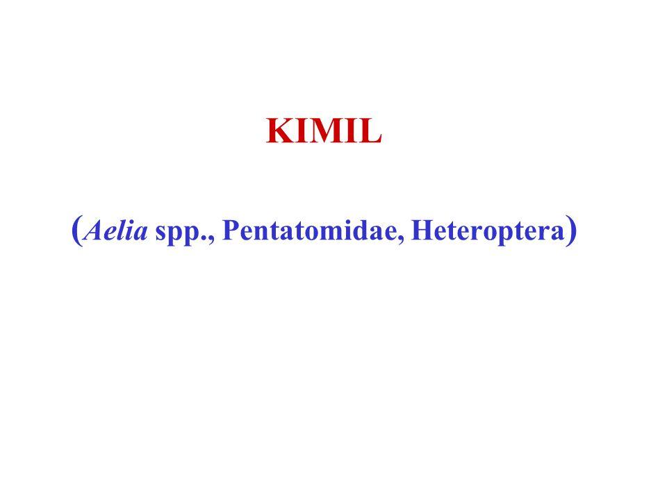 (Aelia spp., Pentatomidae, Heteroptera)