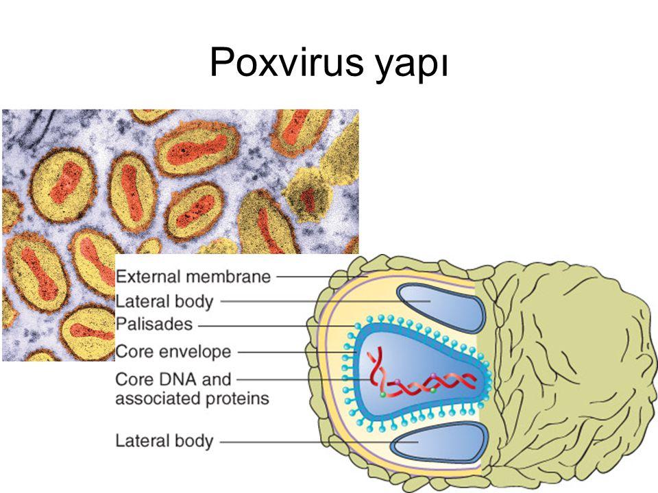 Poxvirus yapı