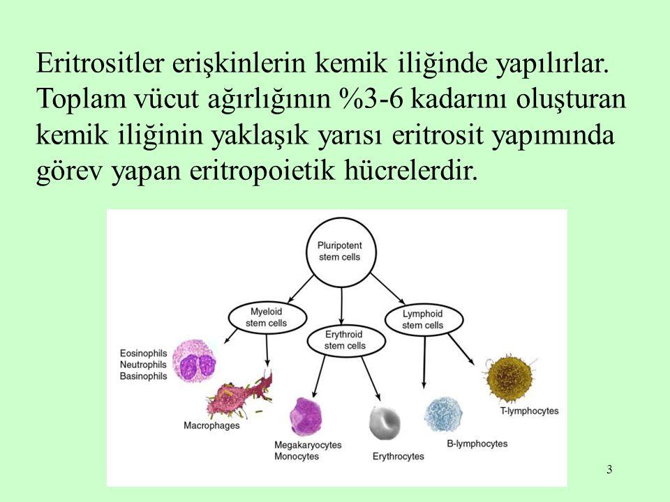 Eritrositler erişkinlerin kemik iliğinde yapılırlar