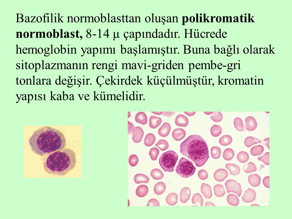 Bazofilik normoblasttan oluşan polikromatik normoblast, 8-14 µ çapındadır.