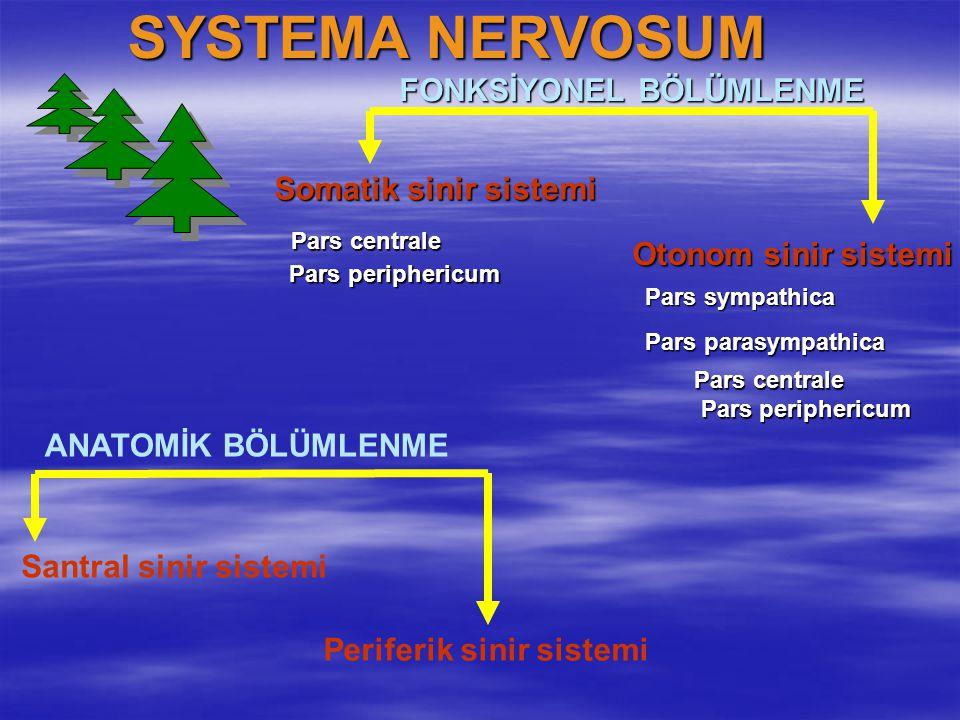 SYSTEMA NERVOSUM FONKSİYONEL BÖLÜMLENME Somatik sinir sistemi
