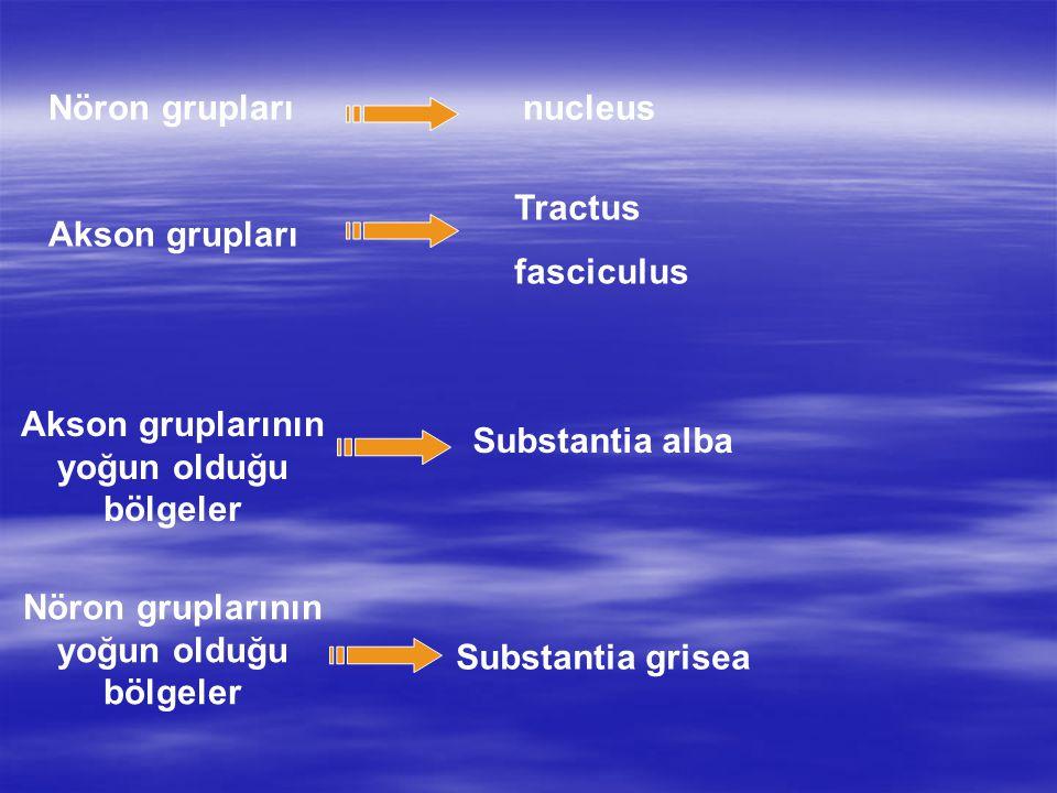 Akson gruplarının yoğun olduğu bölgeler Substantia alba