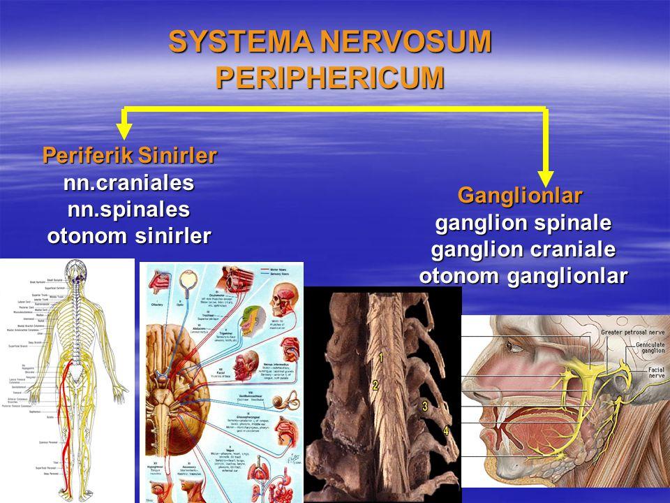 SYSTEMA NERVOSUM PERIPHERICUM