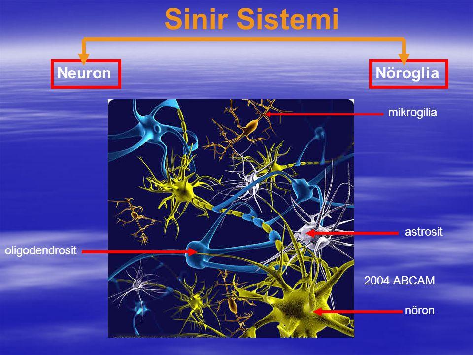 Sinir Sistemi Neuron Nöroglia mikrogilia astrosit oligodendrosit