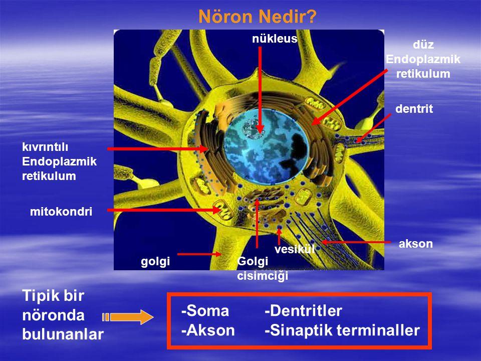 Nöron Nedir Tipik bir nöronda bulunanlar -Soma -Akson -Dentritler