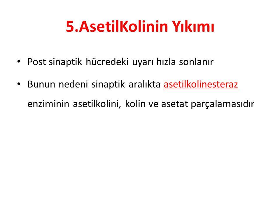 5.AsetilKolinin Yıkımı Post sinaptik hücredeki uyarı hızla sonlanır