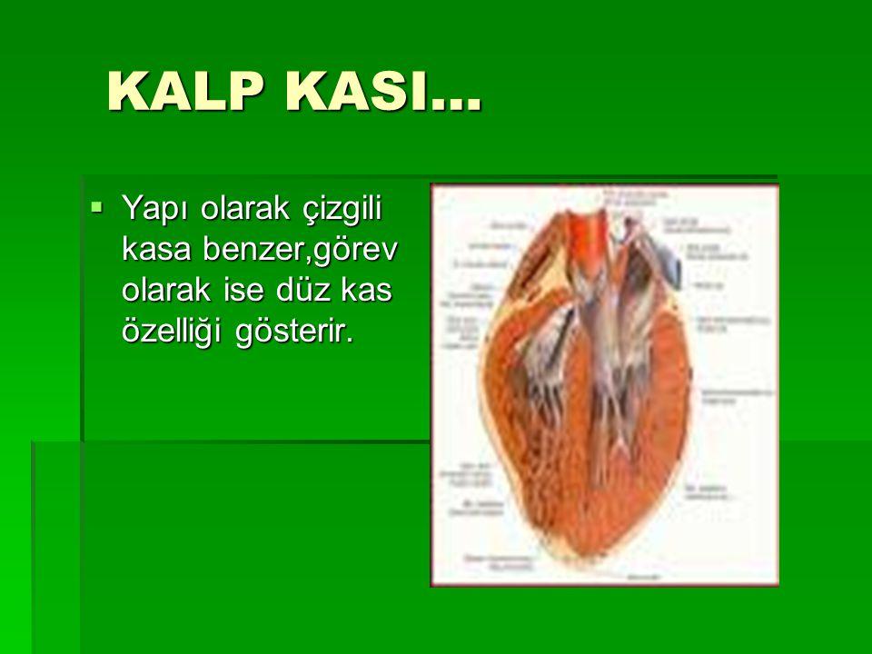 KALP KASI… Yapı olarak çizgili kasa benzer,görev olarak ise düz kas özelliği gösterir.