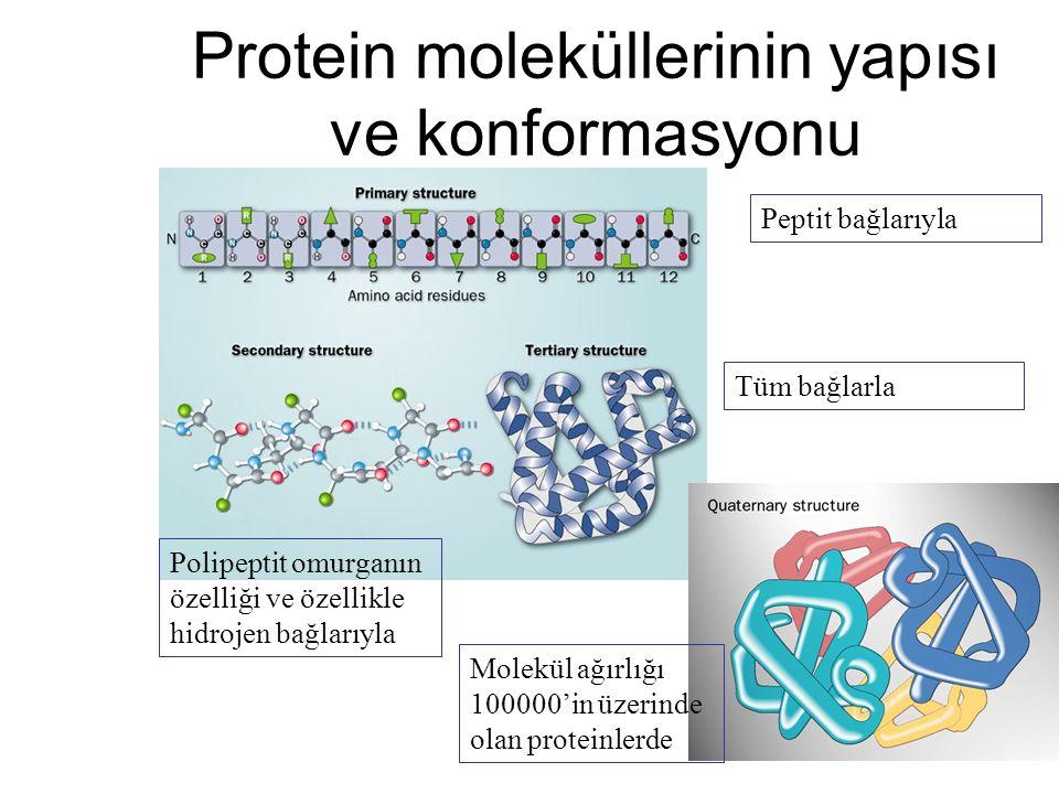 Protein moleküllerinin yapısı ve konformasyonu