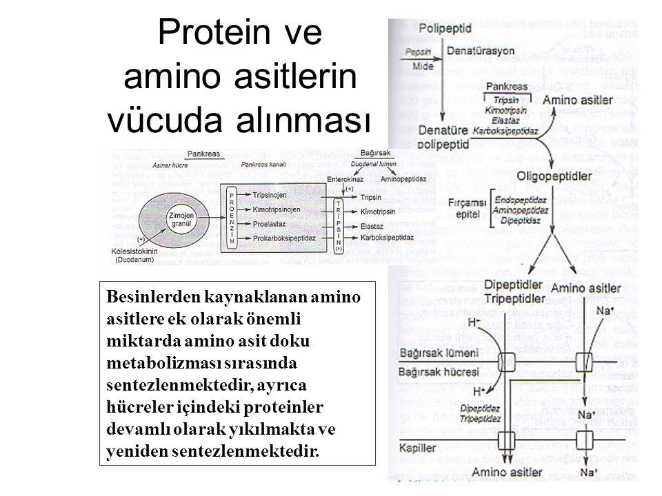 Protein ve amino asitlerin vücuda alınması