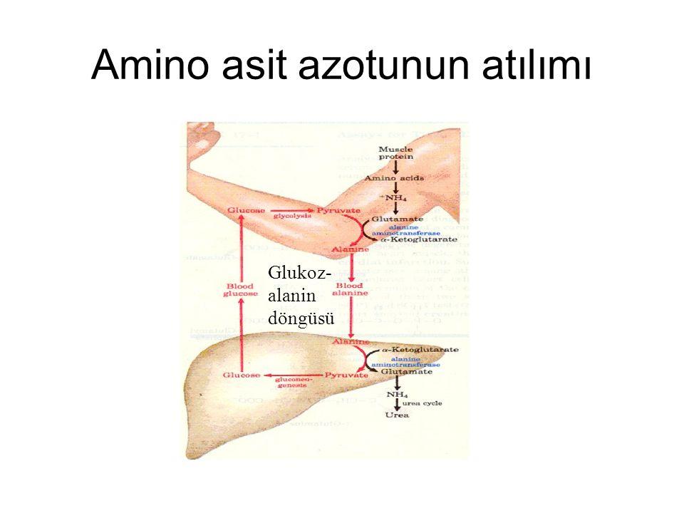 Amino asit azotunun atılımı