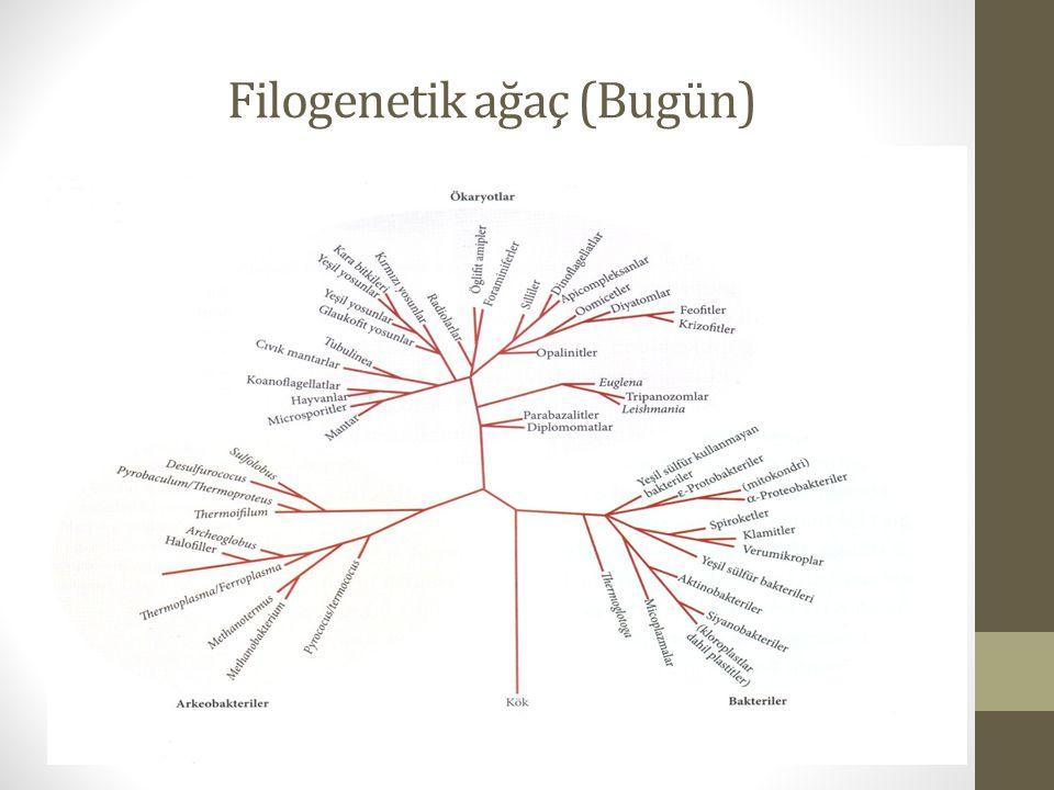 Filogenetik ağaç (Bugün)