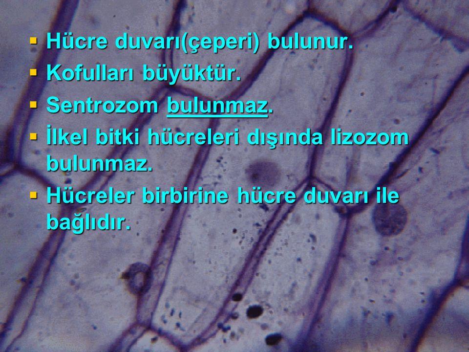 Hücre duvarı(çeperi) bulunur.
