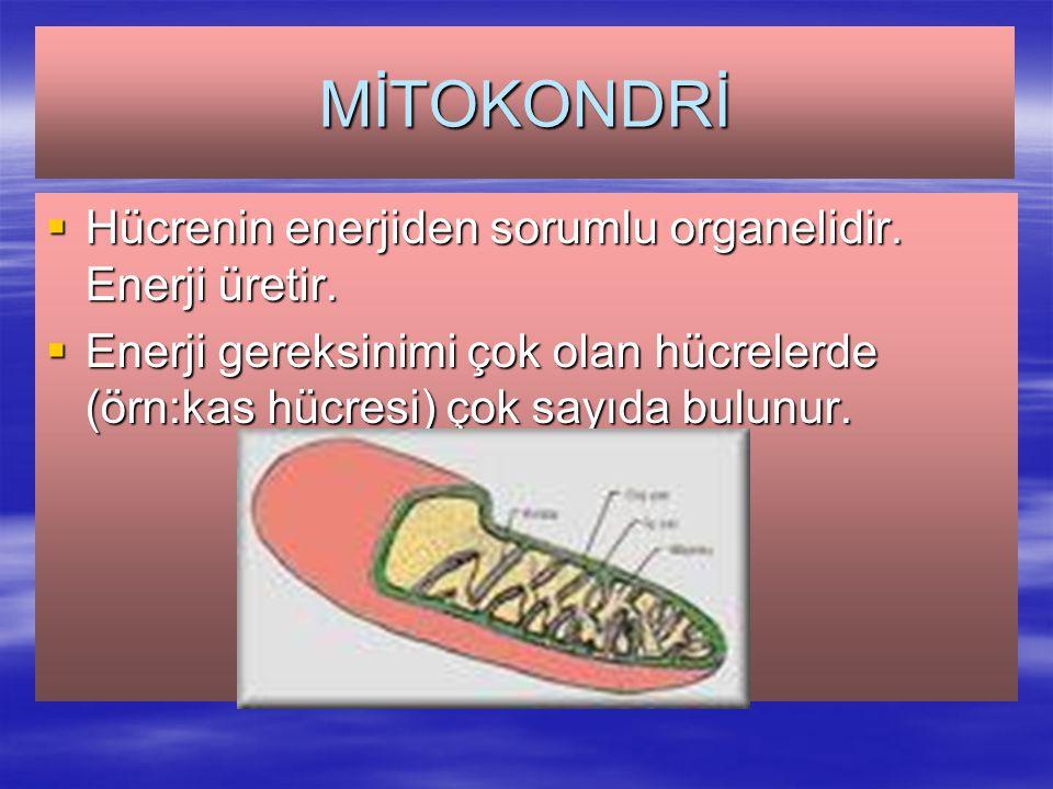 MİTOKONDRİ Hücrenin enerjiden sorumlu organelidir. Enerji üretir.