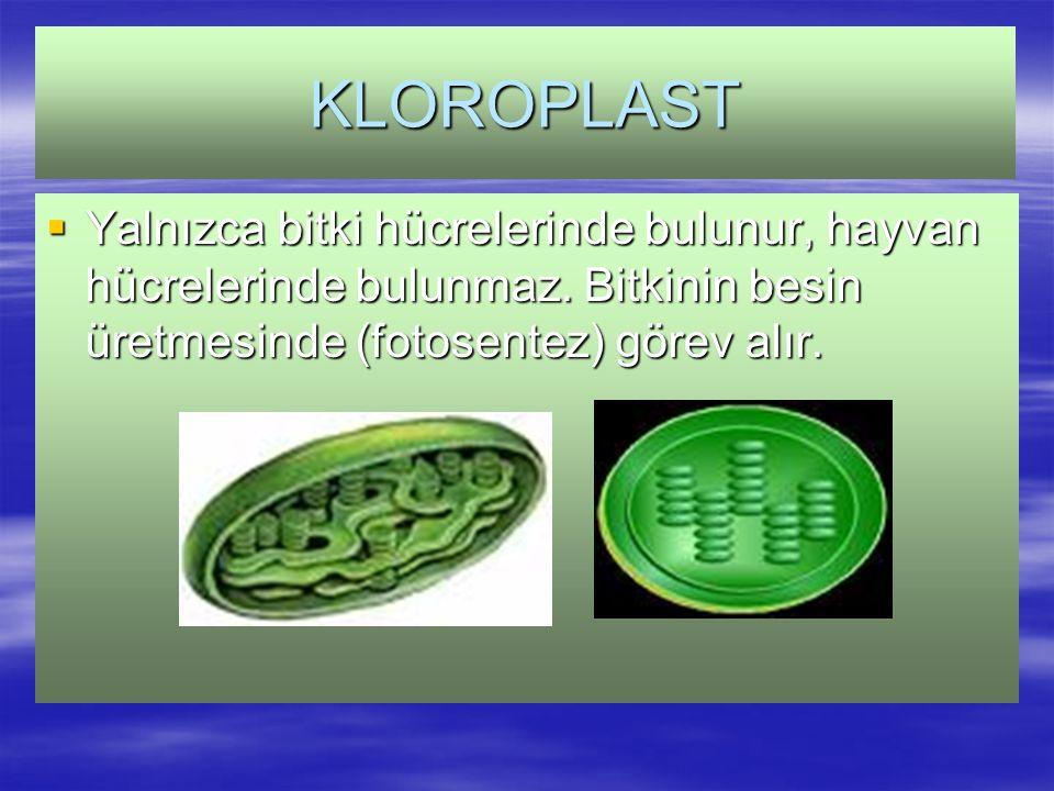 KLOROPLAST Yalnızca bitki hücrelerinde bulunur, hayvan hücrelerinde bulunmaz.