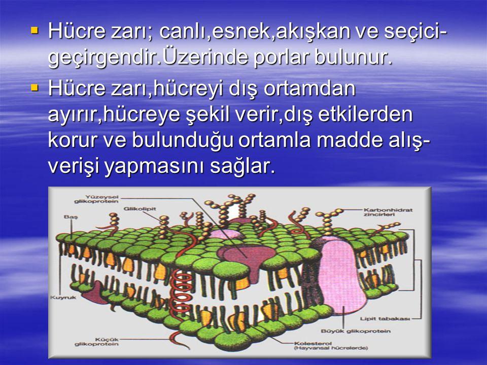 Hücre zarı; canlı,esnek,akışkan ve seçici-geçirgendir