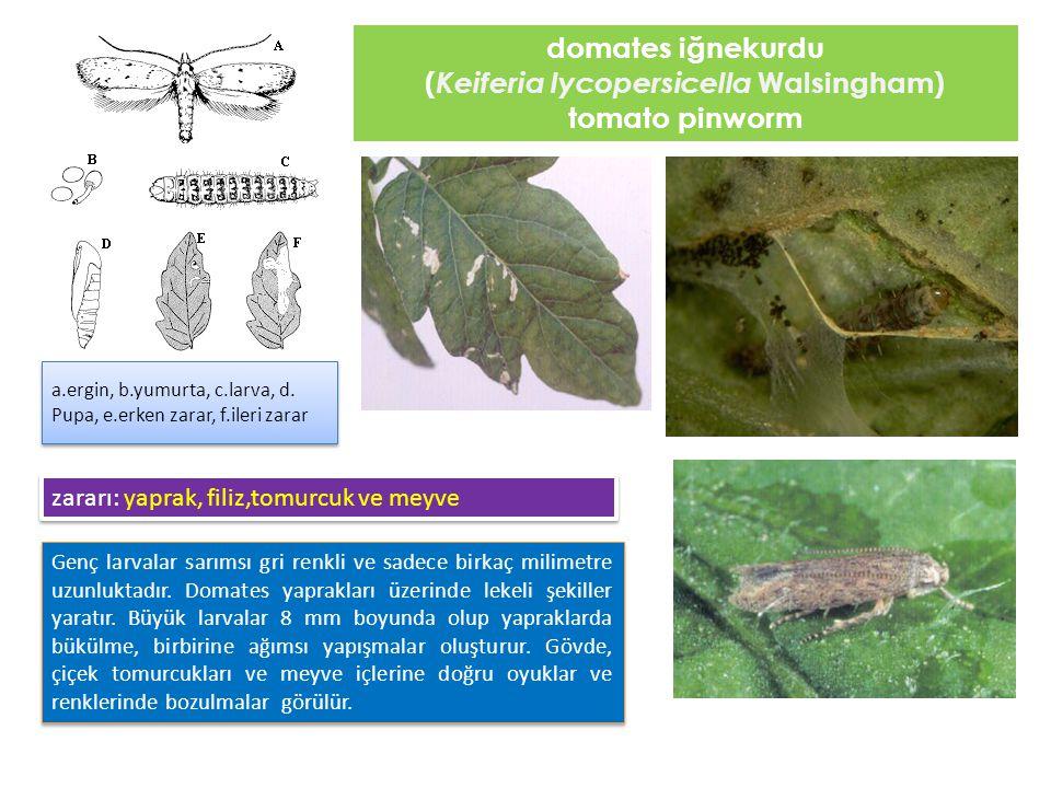 (Keiferia lycopersicella Walsingham)