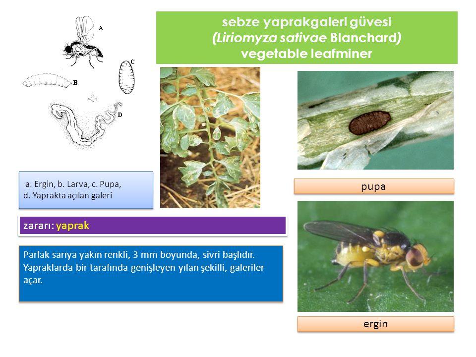 sebze yaprakgaleri güvesi (Liriomyza sativae Blanchard)