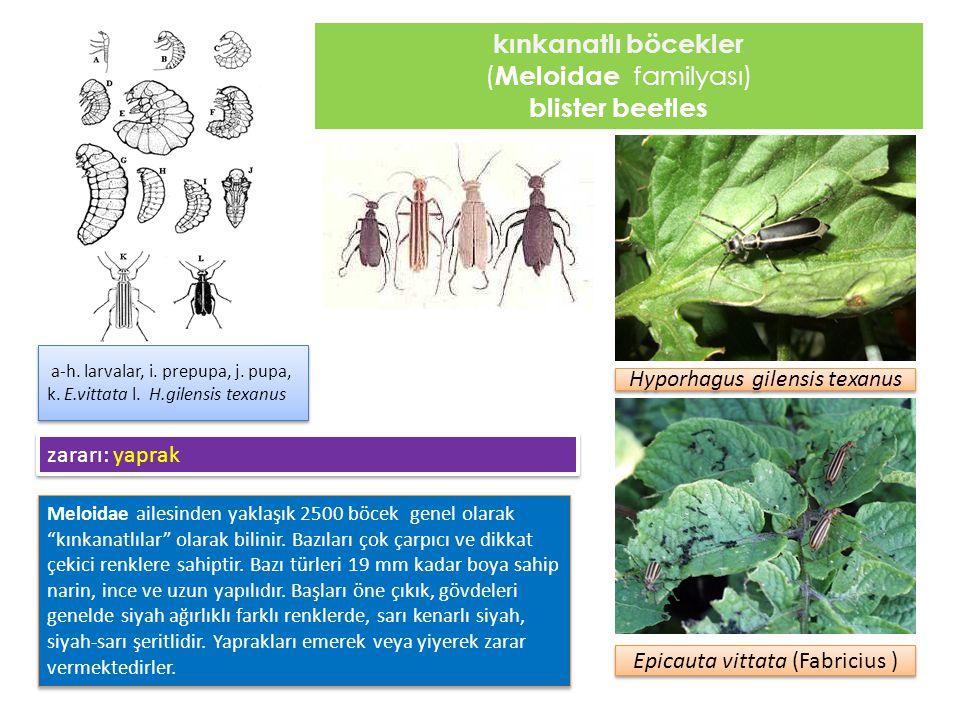 kınkanatlı böcekler blister beetles