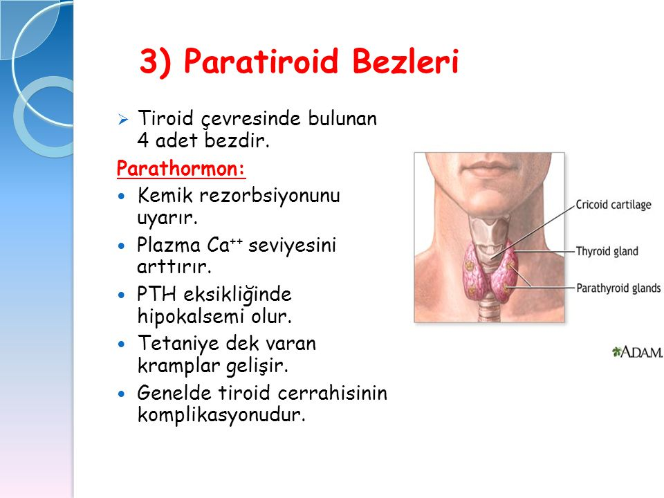 3) Paratiroid Bezleri Tiroid çevresinde bulunan 4 adet bezdir.