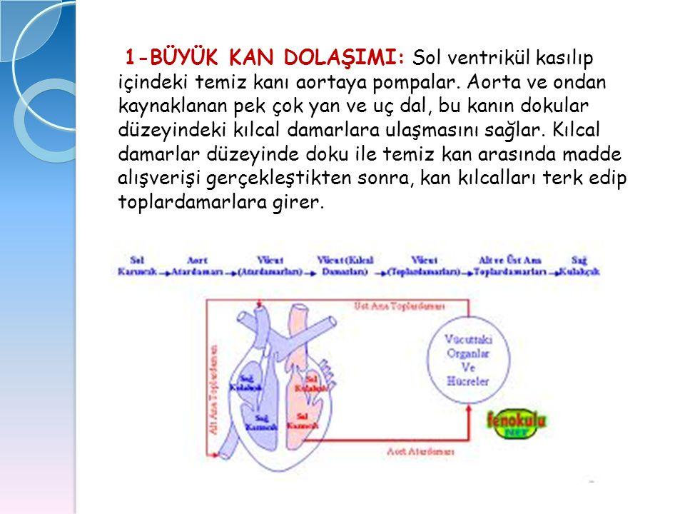 1-BÜYÜK KAN DOLAŞIMI: Sol ventrikül kasılıp içindeki temiz kanı aortaya pompalar.