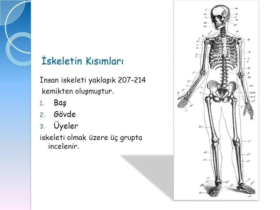 İskeletin Kısımları Baş Gövde Üyeler İnsan iskeleti yaklaşık 207-214