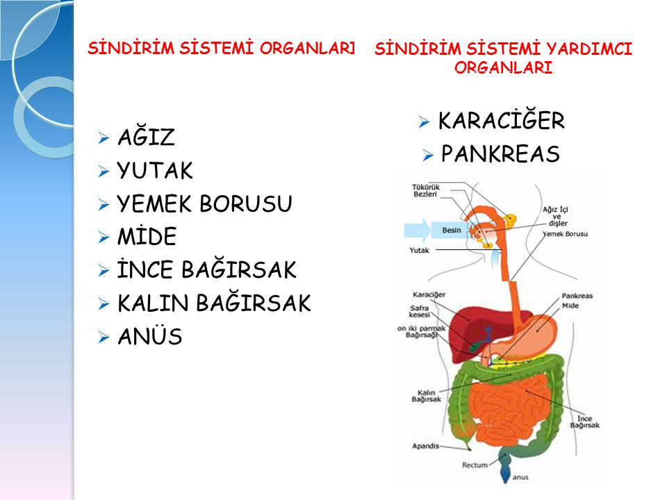 SİNDİRİM SİSTEMİ YARDIMCI ORGANLARI