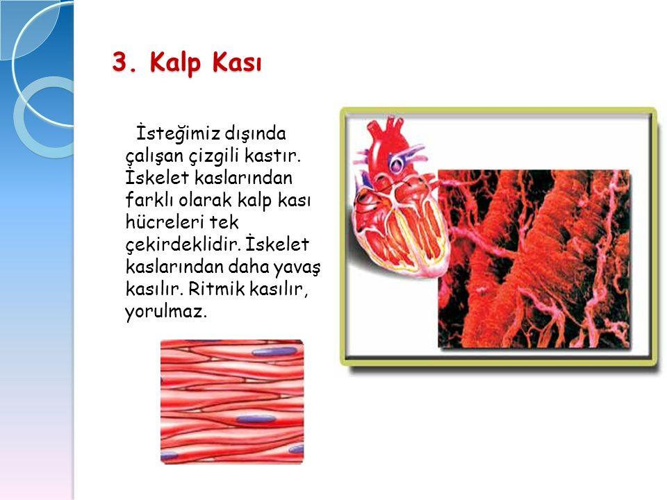 3. Kalp Kası