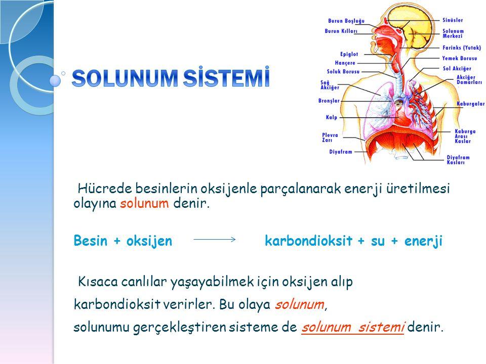 SOLUNUM SİSTEMİ Hücrede besinlerin oksijenle parçalanarak enerji üretilmesi olayına solunum denir.