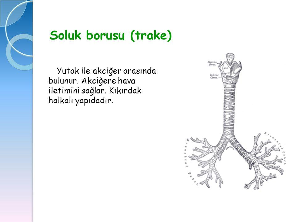Soluk borusu (trake) Yutak ile akciğer arasında bulunur.