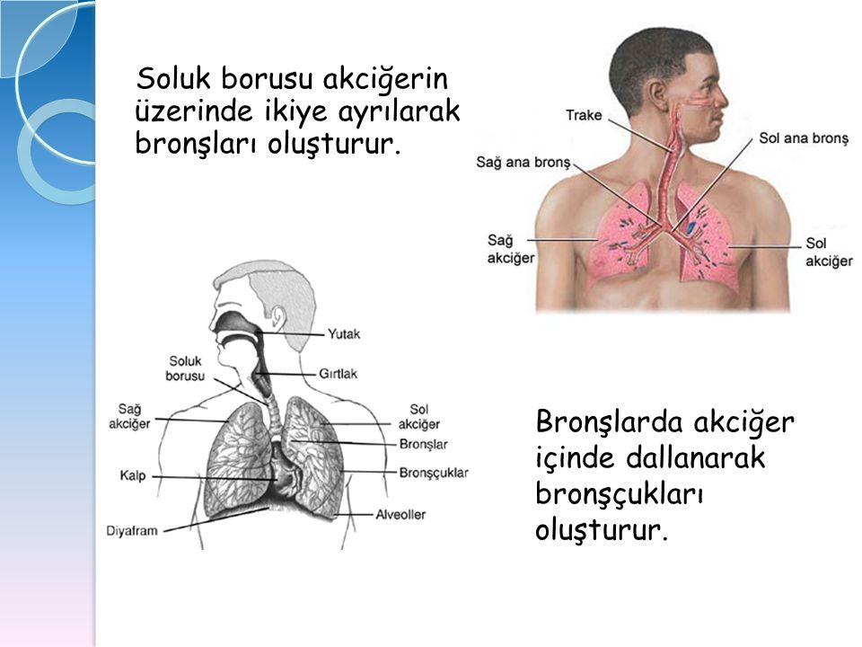 Soluk borusu akciğerin üzerinde ikiye ayrılarak bronşları oluşturur.