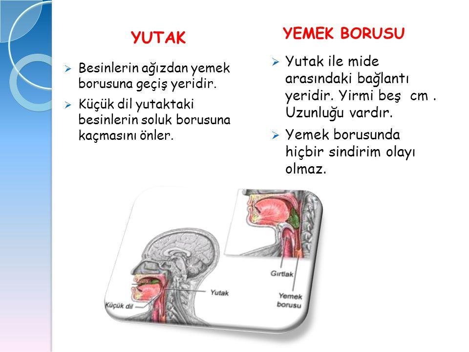 YEMEK BORUSU YUTAK. Yutak ile mide arasındaki bağlantı yeridir. Yirmi beş cm . Uzunluğu vardır.
