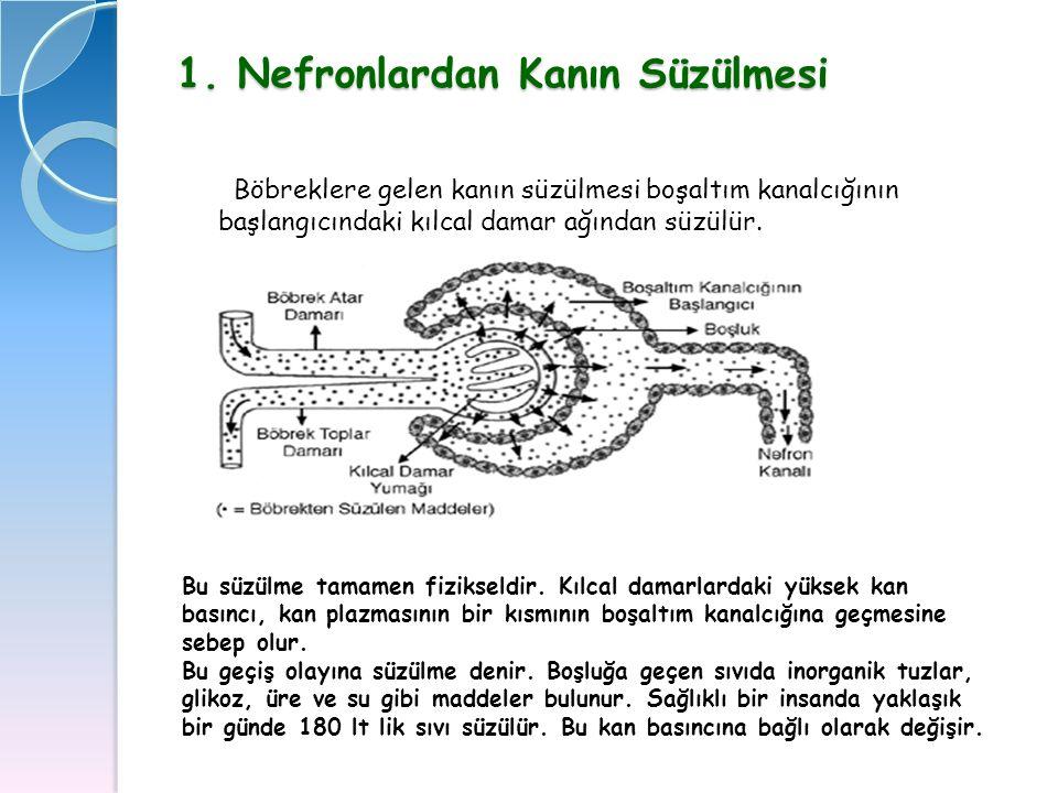 1. Nefronlardan Kanın Süzülmesi
