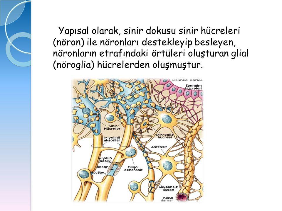 Yapısal olarak, sinir dokusu sinir hücreleri (nöron) ile nöronları destekleyip besleyen, nöronların etrafındaki örtüleri oluşturan glial (nöroglia) hücrelerden oluşmuştur.