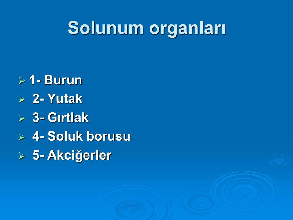 Solunum organları 1- Burun 2- Yutak 3- Gırtlak 4- Soluk borusu