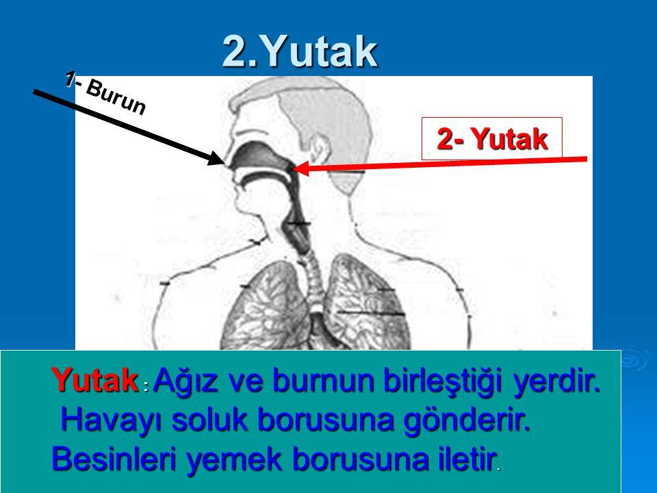 2.Yutak Yutak : Ağız ve burnun birleştiği yerdir.