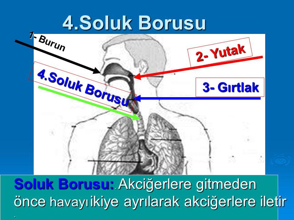 4.Soluk Borusu Soluk Borusu:. Akciğerlere gitmeden