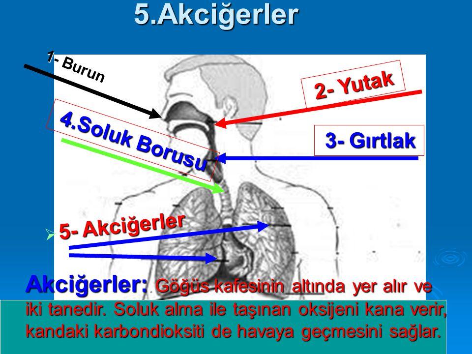 5.Akciğerler 1- Burun. 2- Yutak. 4.Soluk Borusu. 3- Gırtlak. 5- Akciğerler.