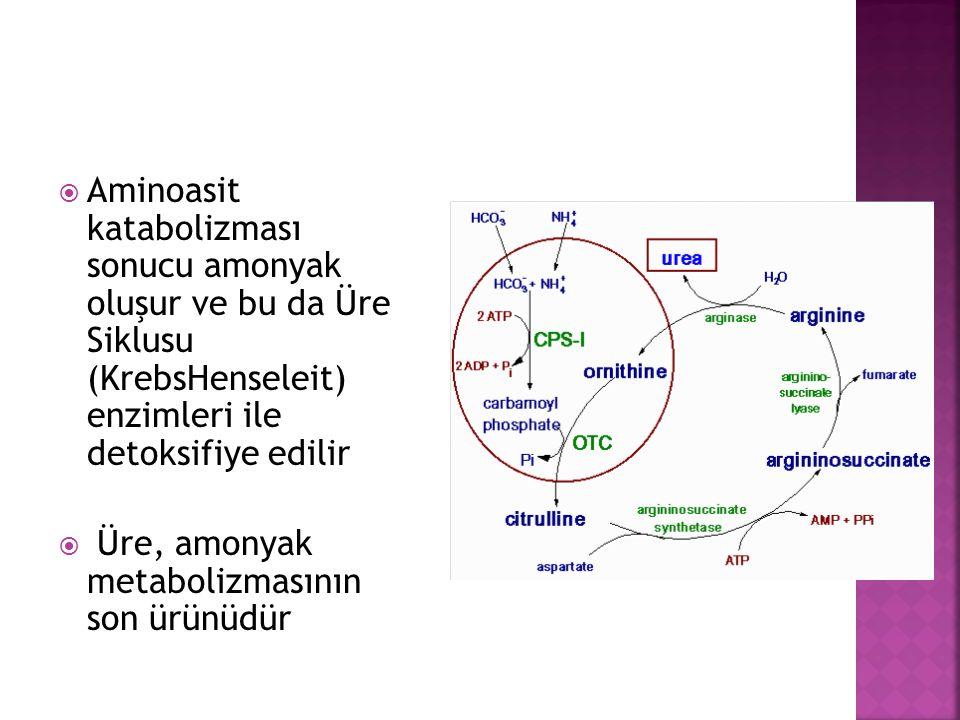 Aminoasit katabolizması sonucu amonyak oluşur ve bu da Üre Siklusu (KrebsHenseleit) enzimleri ile detoksifiye edilir