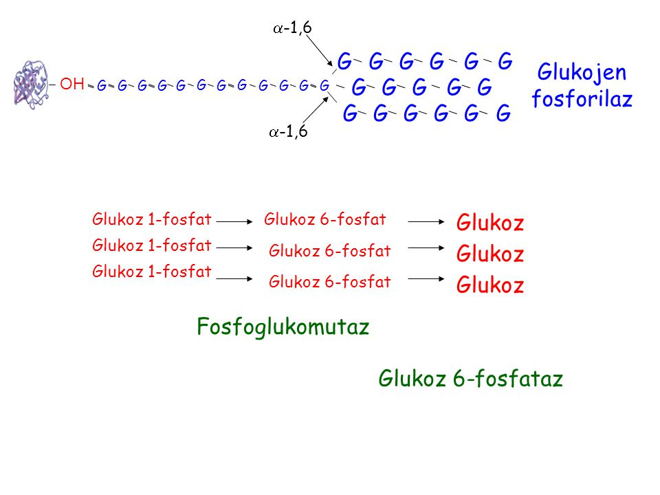 G G G G G G Glukojen fosforilaz G G G G G G G G G G G Glukoz Glukoz