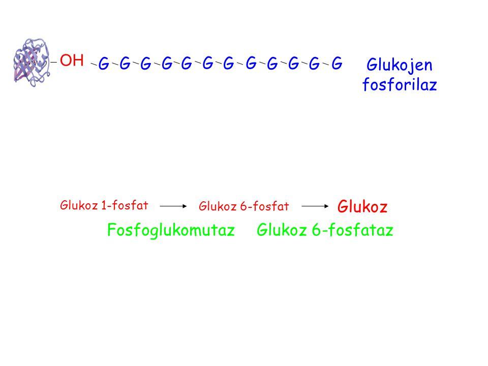 OH G G G G G G G G G G G G Glukojen fosforilaz Glukoz Fosfoglukomutaz