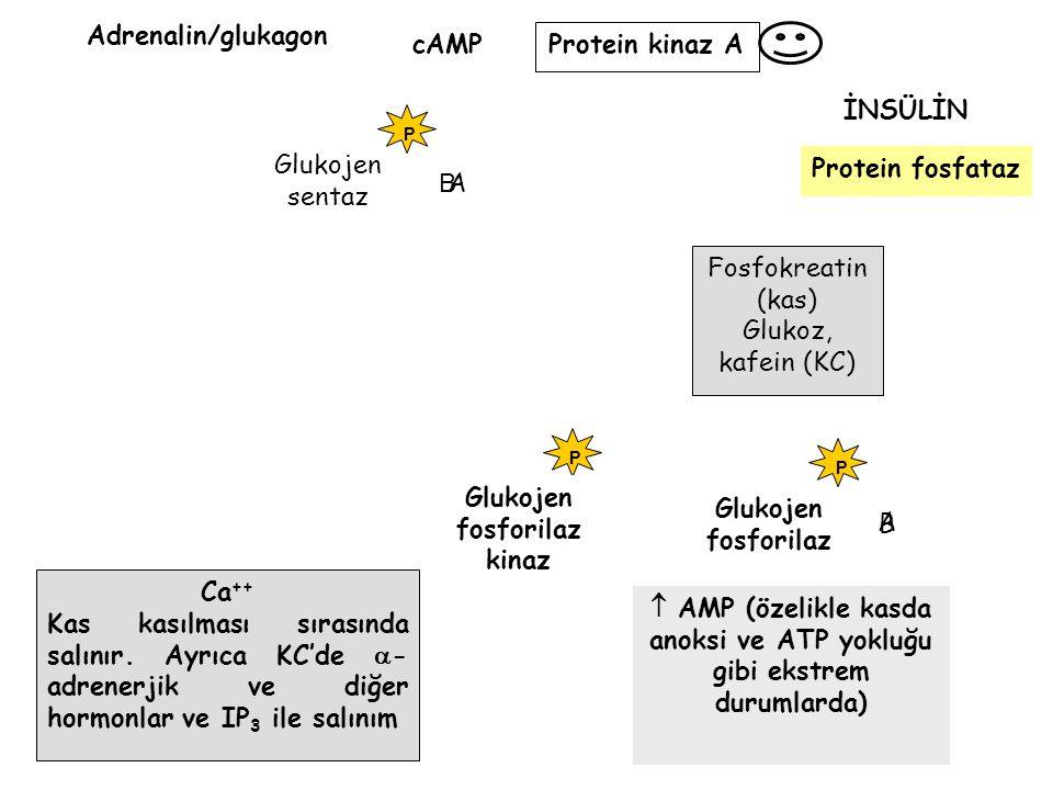  AMP (özelikle kasda anoksi ve ATP yokluğu gibi ekstrem durumlarda)